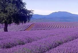 Lavender field in the south of France.
