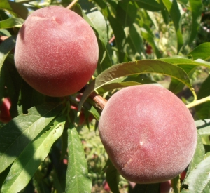 Carored peaches on limb, a Jersey favorite.